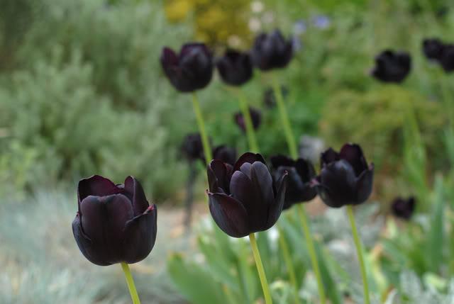 Tulip đen